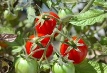 common plants for home vegetable gardens